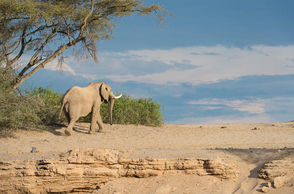 Desert adapted elephant on the Skeleton Coast.