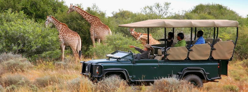 See Giraffes on a South African safari.