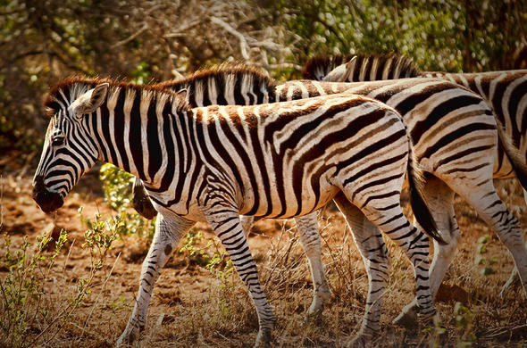 See these sociable zebras in the Tala Game Reserve.