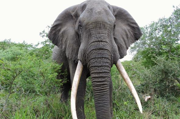 Get up close with the gentle giants in the Tembe Elephant Reserve.