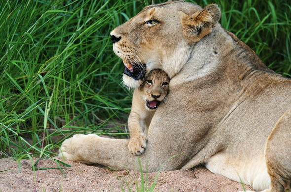 Adorable lioness and cub sighting in Timbavati Private Game Reserve.