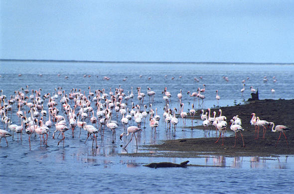 Flamingoes. Walvis bay