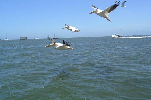 Pekicans in flight. Walvis Bay