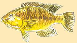 Yellow-belly Bream